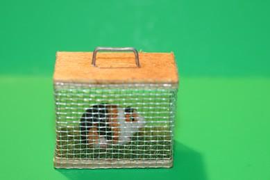 Meerschweinchen im Käfig