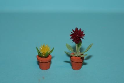 Igelkaktus, Blüten gelb + lila