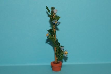 Ranke mit hellblauen Blüten, im Topf